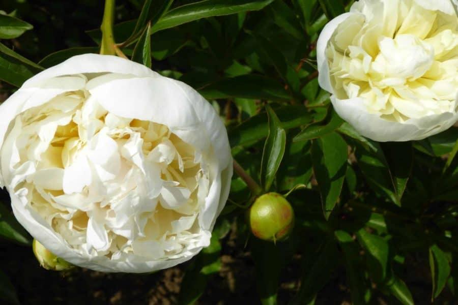 Paeonia lactiflora ´Duchesse de Némours´ – Stauden-Pfingstrose mittig hellgelb, schalenförmige Blüten, weiß (Bioland-Anbau Gärtnerei Stefan Huthmann)