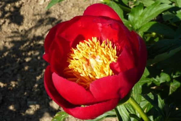 Paeonia lactiflora ´Fiesta´ – Stauden-Pfingstrose einfach, orangerot (Bioland-Anbau Gärtnerei Stefan Huthmann)