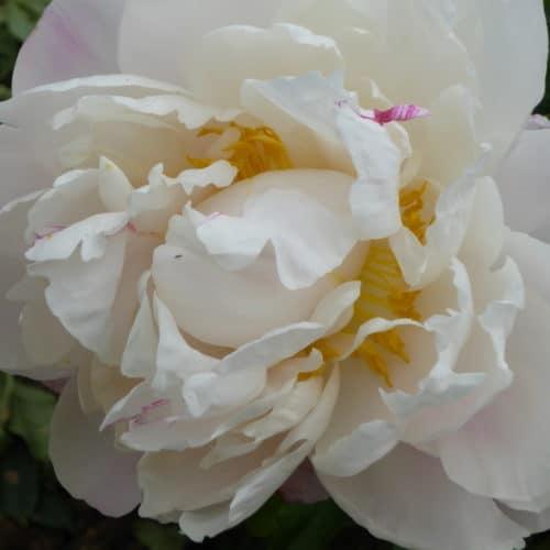 Paeonia lactiflora ´Gardenia´ – Stauden-Pfingstrose cremeweiß gefüllt (Bioland-Anbau Gärtnerei Stefan Huthmann)
