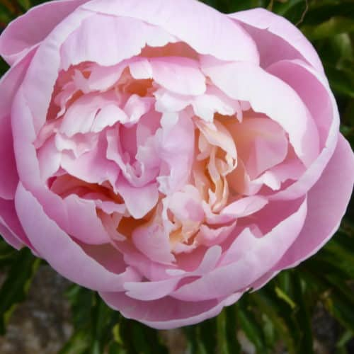 Paeonia lactiflora ´Germaine Bigot´ – Stauden-Pfingstrose halbgefüllte Blüten, hellrosa bis pink (Bioland-Anbau Gärtnerei Stefan Huthmann)