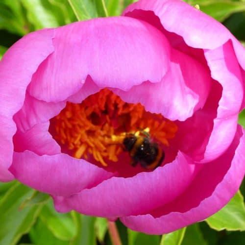 Paeonia lactiflora ´Holbein´ – Stauden-Pfingstrose einfach, rosa (Bioland-Anbau Gärtnerei Stefan Huthmann)