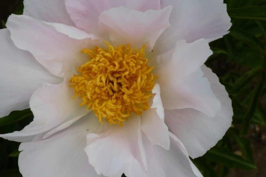 Paeonia lactiflora ´Krinkled White´ – Stauden-Pfingstrose einfach, reinweiß (Bioland-Anbau Gärtnerei Stefan Huthmann)