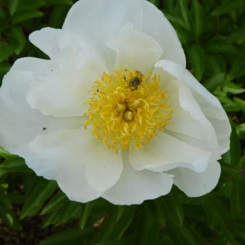 Paeonia lactiflora ´Lotus Queen´ – Stauden-Pfingstrose cremeweiß, einfach (Bioland-Anbau Gärtnerei Stefan Huthmann)