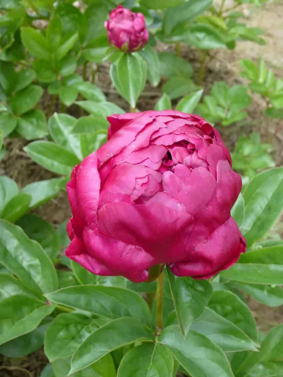 Paeonia lactiflora ´Lowell Thomas´ – Stauden-Pfingstrose halb- bis ganzgefüllt, hellrot (Bioland-Anbau Gärtnerei Stefan Huthmann)