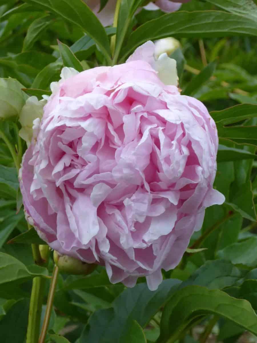 Paeonia lactiflora ´Mandaleen´ – Stauden-Pfingstrose flach gefüllt, rosa, weiß getönt (Bioland-Anbau Gärtnerei Stefan Huthmann)