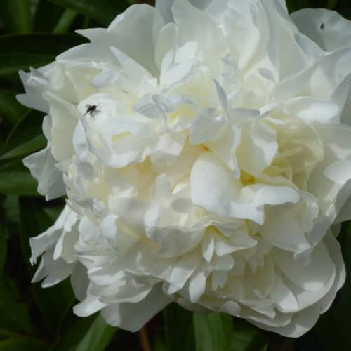 Paeonia lactiflora ´Mme. Claude Tain´ – Stauden-Pfingstrose reinweiß, stark gefüllt (Bioland-Anbau Gärtnerei Stefan Huthmann)