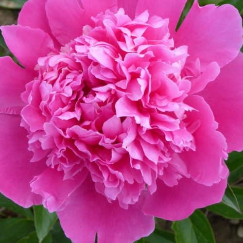Paeonia lactiflora ´Mons. Jules Elie´ – Stauden-Pfingstrose gefüllt, rosa (Bioland-Anbau Gärtnerei Stefan Huthmann)