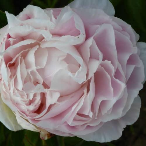 Paeonia lactiflora (x) ́Shirley Temple ́ Stauden-Pfingstrose gefüllt, rosaweiß (Bioland-Anbau Gärtnerei Stefan Huthmann)