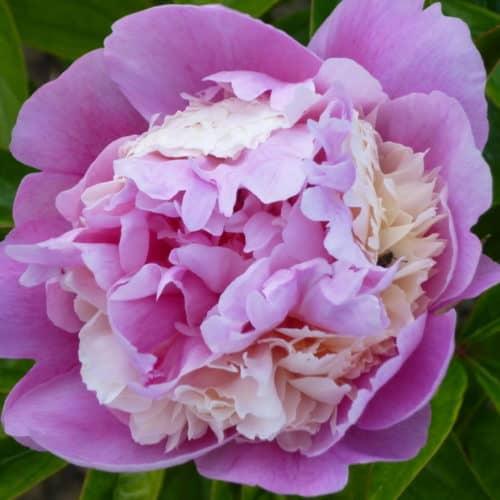 Paeonia lactiflora (x) ́Sorbet ́ Stauden-Pfingstrose flachgefüllt, rosa mit creme (Bioland-Anbau Gärtnerei Stefan Huthmann)