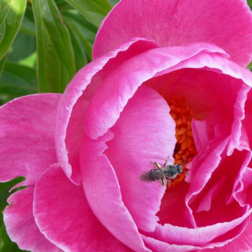 Paeonia lactiflora ´Torpilleur´ – Stauden-Pfingstrose einfach, rosenrot (Bioland-Anbau Gärtnerei Stefan Huthmann)