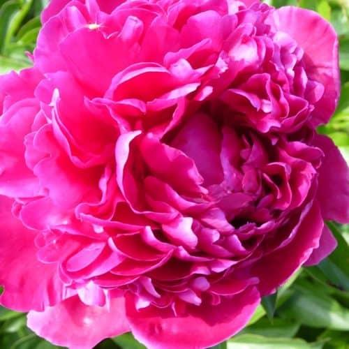 Paeonia lactiflora (x) ́Ville de Nancy ́ Stauden-Pfingstrose gefüllt, weinrot (Bioland-Anbau Gärtnerei Stefan Huthmann)