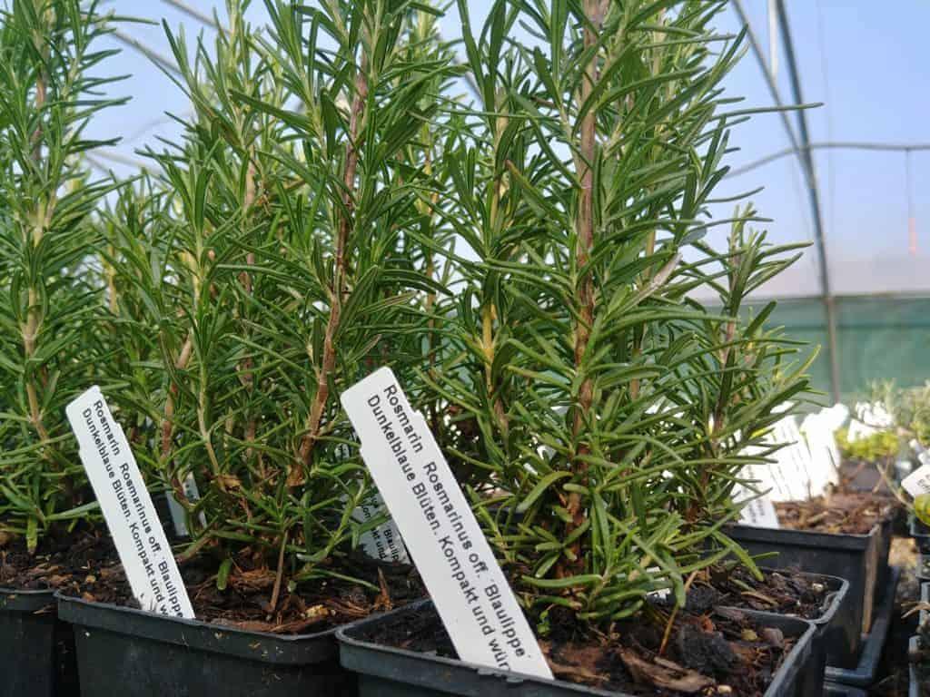 Garten-Rosmarin Rosmarinus officinalis ́Blaulippe Bioland-Anbau
