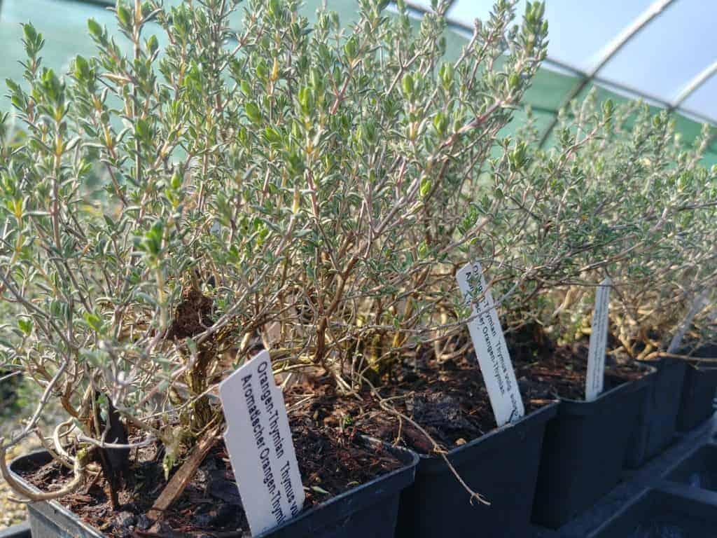 Orangen-Thymian Thymus vulgaris subsp. fragrantissimus Bioland-Anbau