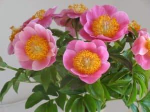 Paeonia lactiflora `Gedenken´ als Strauss